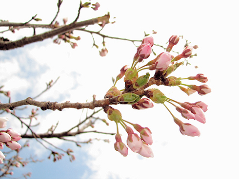 桜が咲きそうな次第