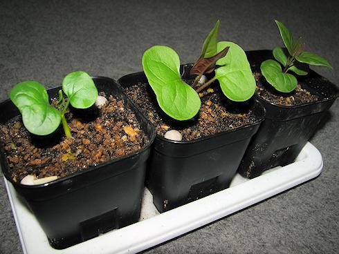 そろそろ植え替えのオシロイバナ