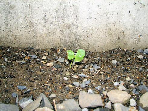 植え替えで地植えに