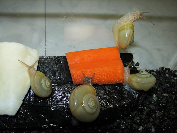 収穫したニンジンをカタツムリにあげてみた