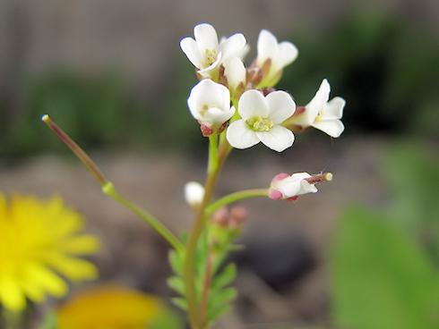 毎年咲くタネツケバナ