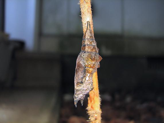 羽化しないルリタテハのサナギ