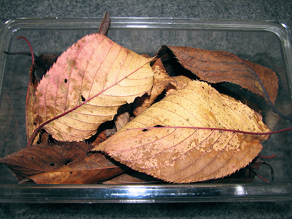 ウスカワに枯れ葉投入