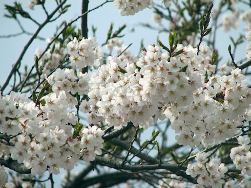 桜満開春爛漫