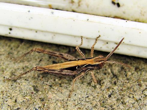 ヒナバッタの幼虫