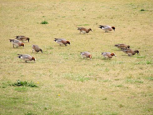 若草を食むカモの集団