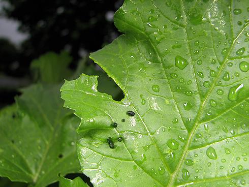 葉大根の葉を食べるチョウの幼虫