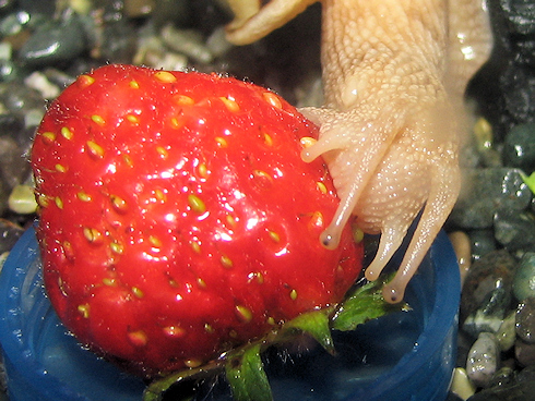 イチゴを食べるカタツムリ