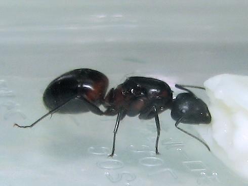 ムネアカオオアリの女王アリを保護