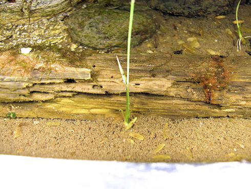 カエルパワーで稲が発芽