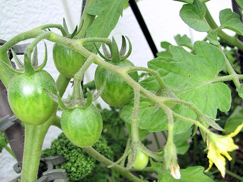 実がふくらむミニトマト