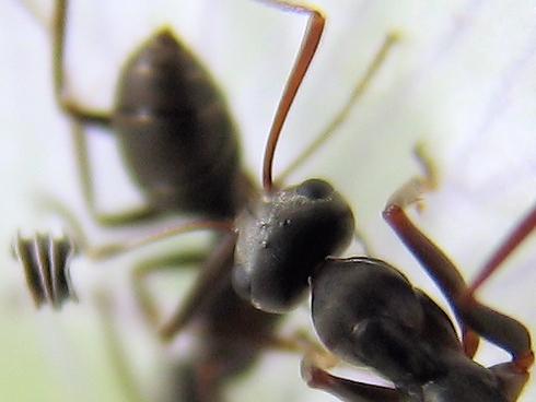 ネモフィラの蜜を吸うクロヤマアリ