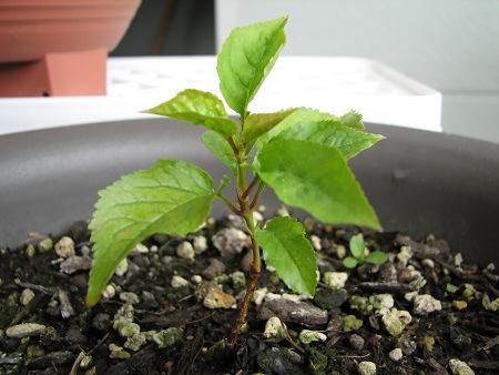 木の風格がするサクランボの苗
