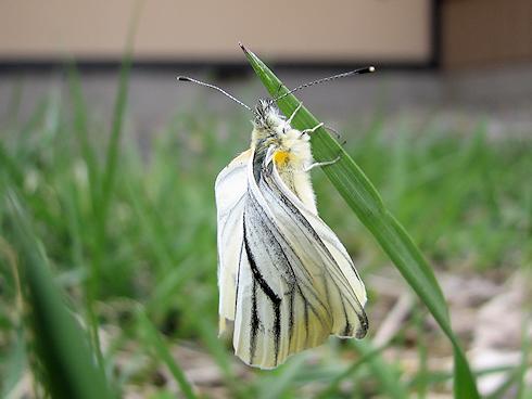 スジグロシロチョウの羽化