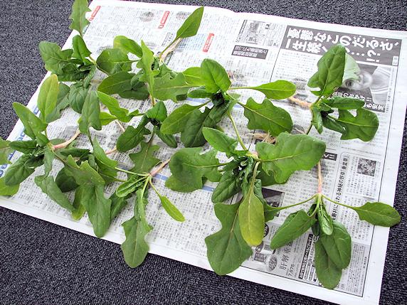 ホウレンソウの収穫