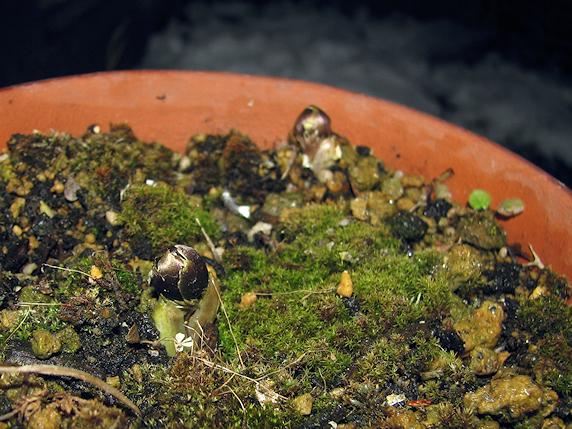 福寿草の芽吹き