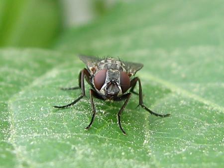 写真館-身近な昆虫、ハエ