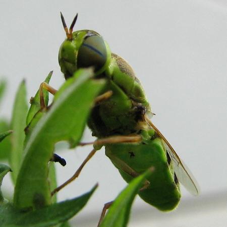 写真館-緑色のアブ、コガタノミズアブ
