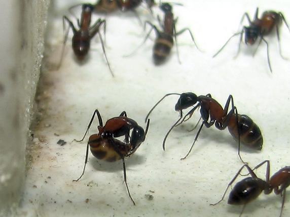 幼虫の温度管理をするムネアカオオアリ