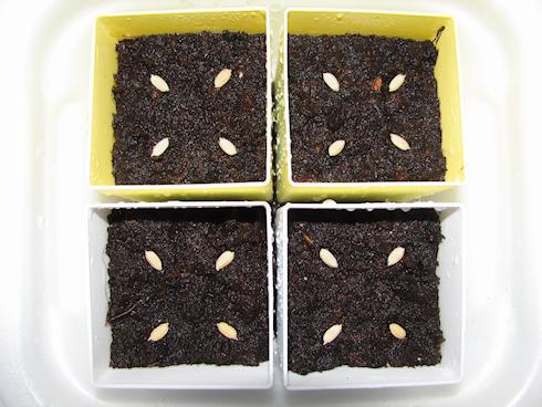 バケツ稲の種蒔き
