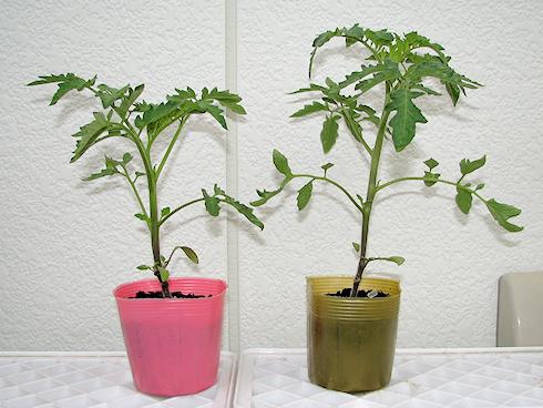 トマトの栽培開始