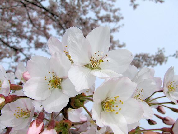 桜ようやく開花