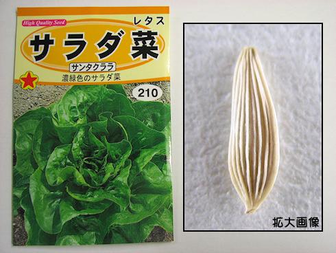 カタツムリ用サラダ菜栽培開始