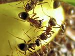 チョコバナナ柿の種に集まるアリ
