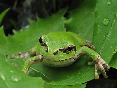 写真館-毎年恒例のカエル参上
