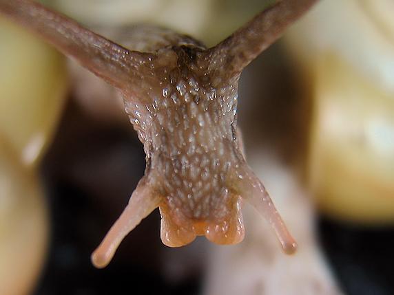 カタツムリの頭