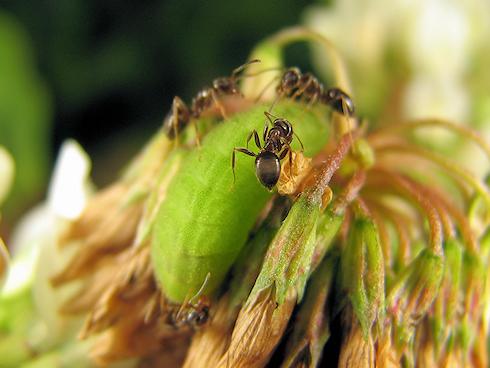 ヤマトシジミの幼虫とアリ