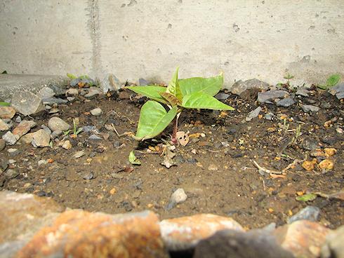 ゆっくり生長オシロイバナ