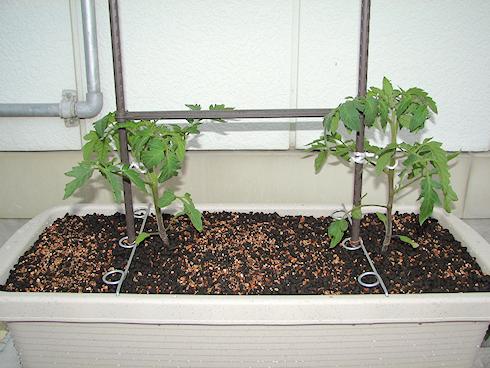 トマトの苗をプランターに移植