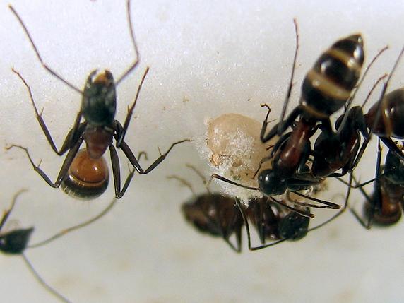 アリのマユができていく