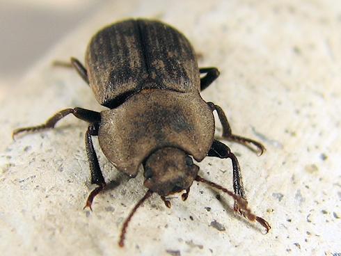 名称不明の甲虫