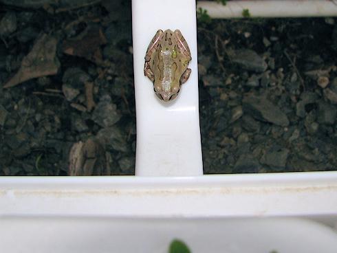 45°のカエル