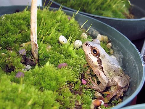 置物のふりをするカエル