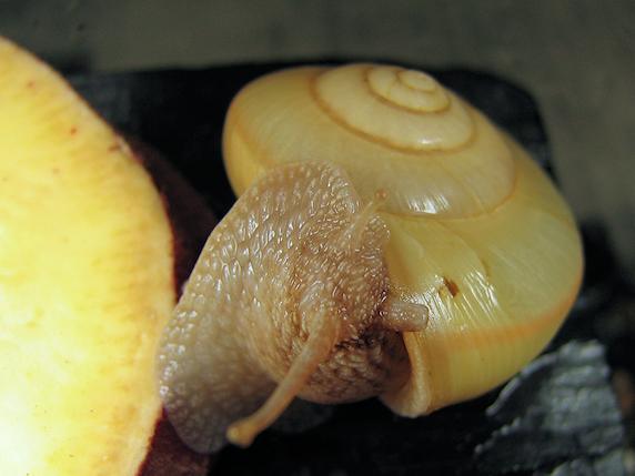 殻を掃除するカタツムリ