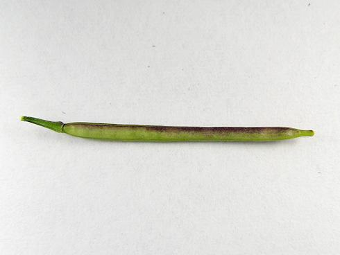 タネツケバナの種を採取