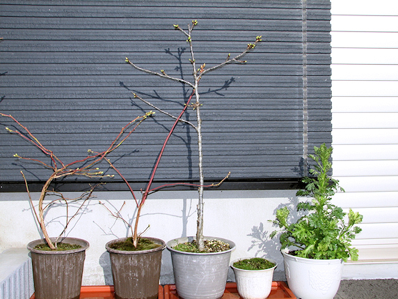 木の芽ふくらむ春の訪れ