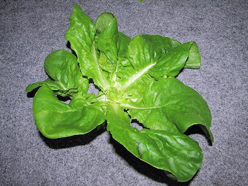 サラダ菜を食べるカタツムリ