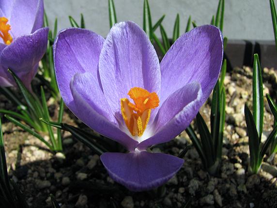 紫クロッカスも開花
