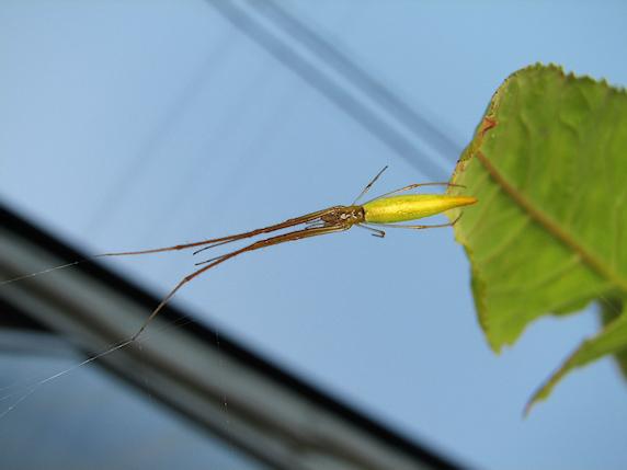 黄色くとがったトガリアシナガグモ