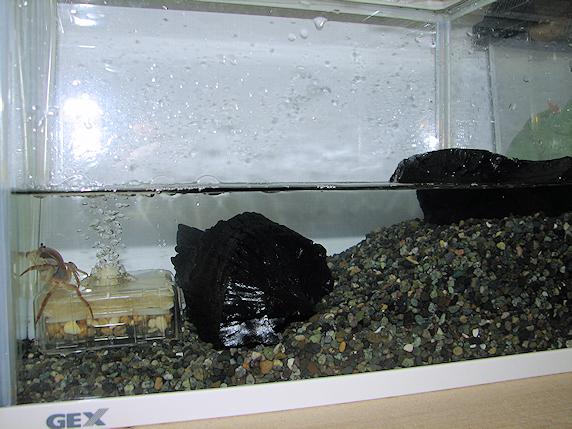 サワガニの水槽整備
