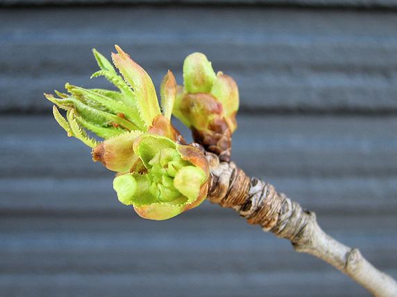木の芽が開く