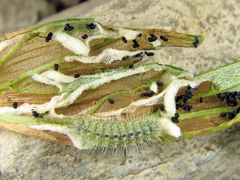 ヨモギの葉を丸める幼虫