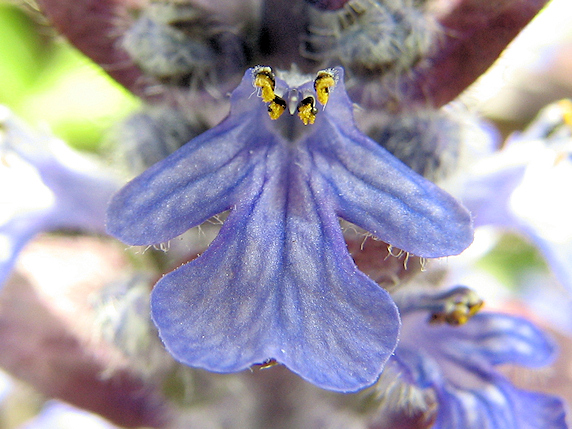紫の花、セイヨウキランソウ