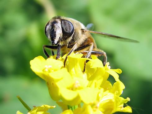 今年初めてミツバチを見た