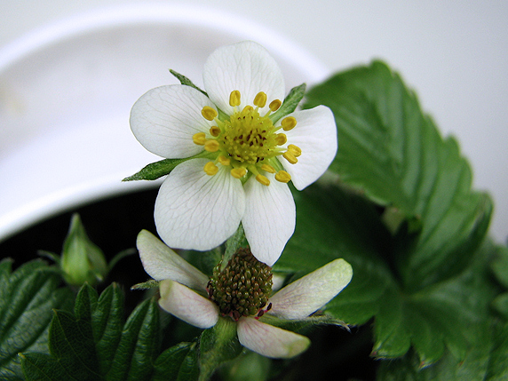 続々開花のワイルドストロベリー