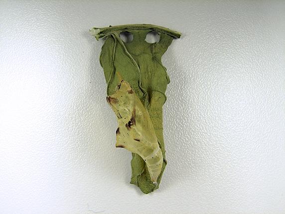 スジグロシロチョウ2匹目羽化